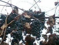 Вино из винограда в домашних условиях- простой рецепт пошаговый с фото, видео